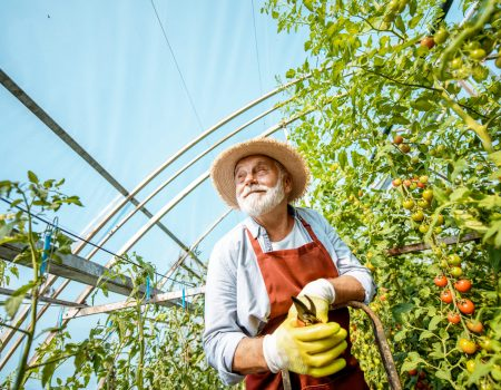 Portrait of a well-dressed senior man, standing on a ladder as an agronomist taking care of tomato plantation on a small agricultural farm